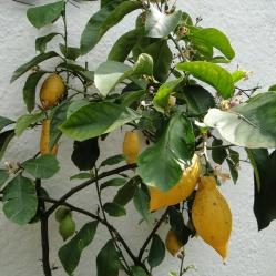 Berliner Zitronen haben einen ganz besonderen Geschmack.
