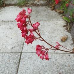 Purpurglöckchen aus Großmutters Garten.